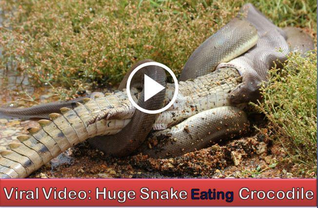 Snake-eating-crocodile